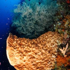 Giant sponge & black coral