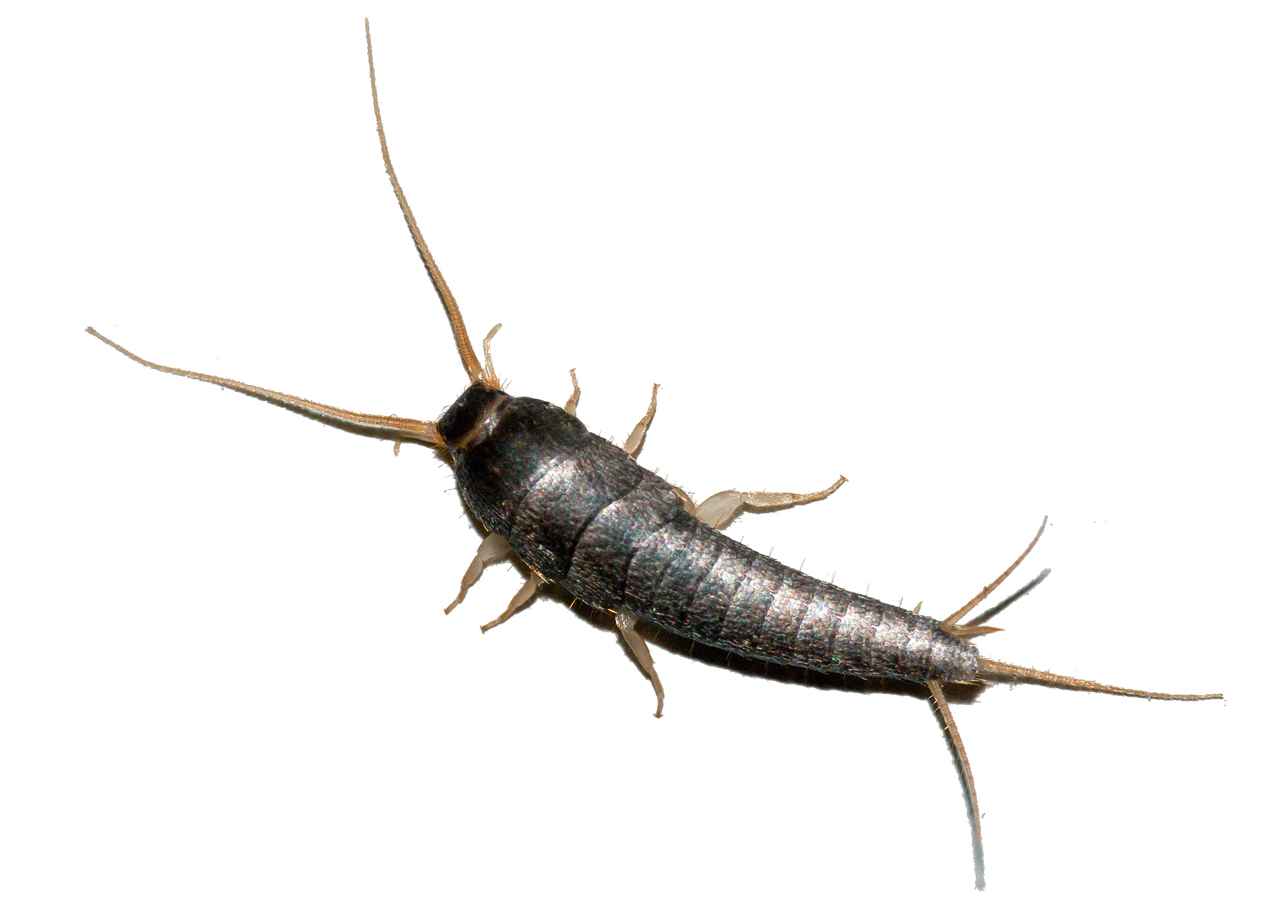 silverfish-diy-bug-control