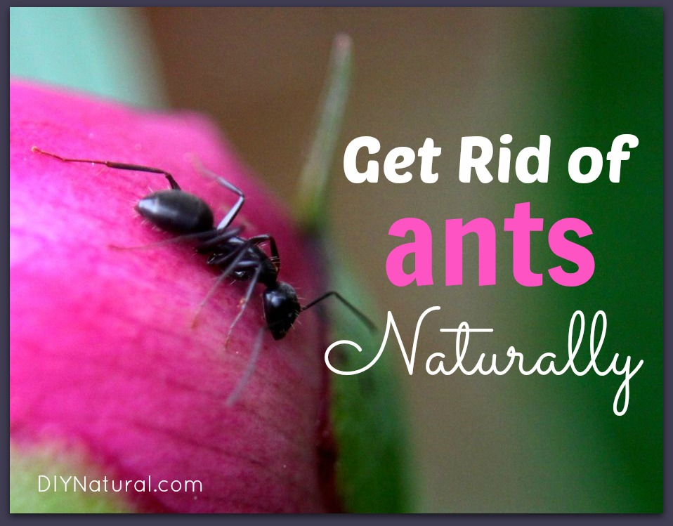 How To Get Rid of Ants Naturally - House and Carpenter Ants