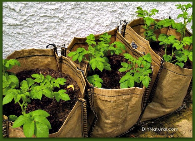 How To Grow Potatoes From Eye To Harvest - It'S So Easy