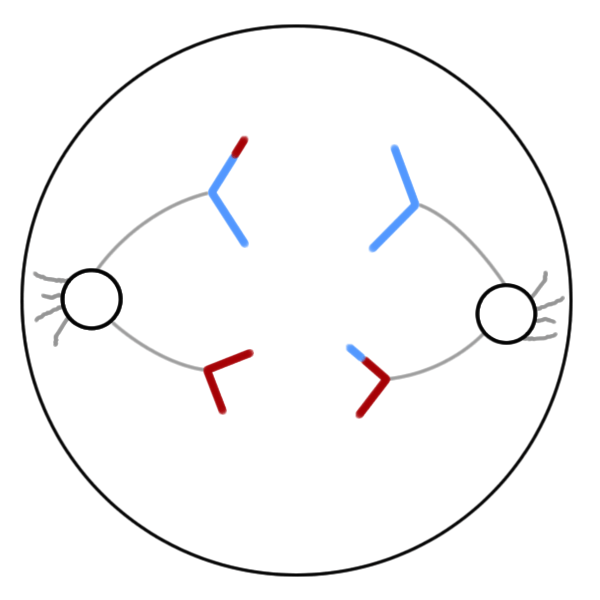 metaphase 2 diagram