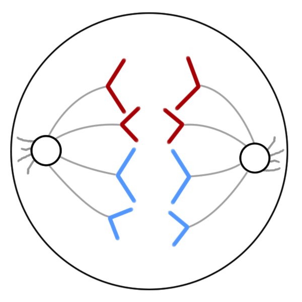 anaphase of mitosis diagram