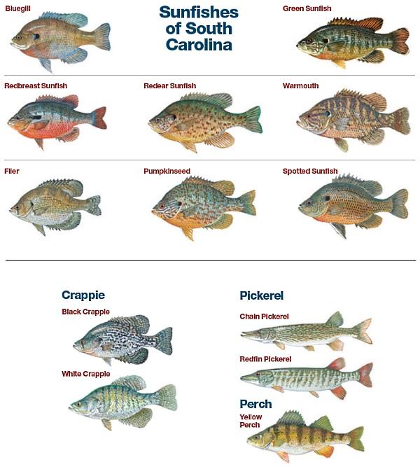 SCDNR - Bream, Sunfish, Crappie, Yellow Perch, Pickerel, Walleye and