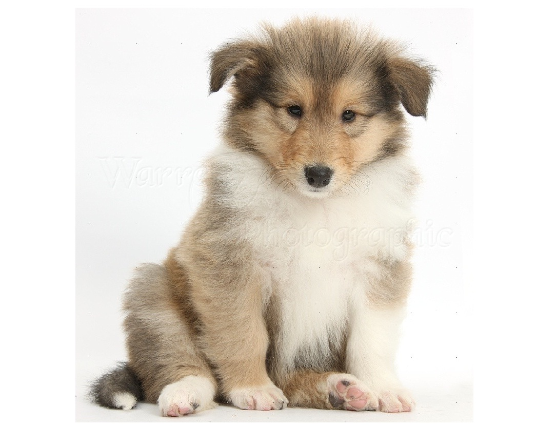 Cute Wallpaper For Home Screen Collie Puppies For Adoption Dog Bazar