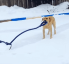 snow plowing dog
