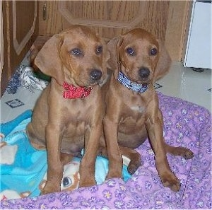 Redbone Coonhound Dog and Puppies