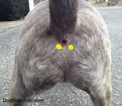 Why Dogs Drag Their Butts Across The Floor