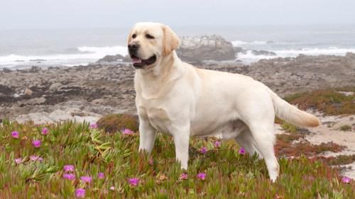 Medium Of Big White Dog Breeds