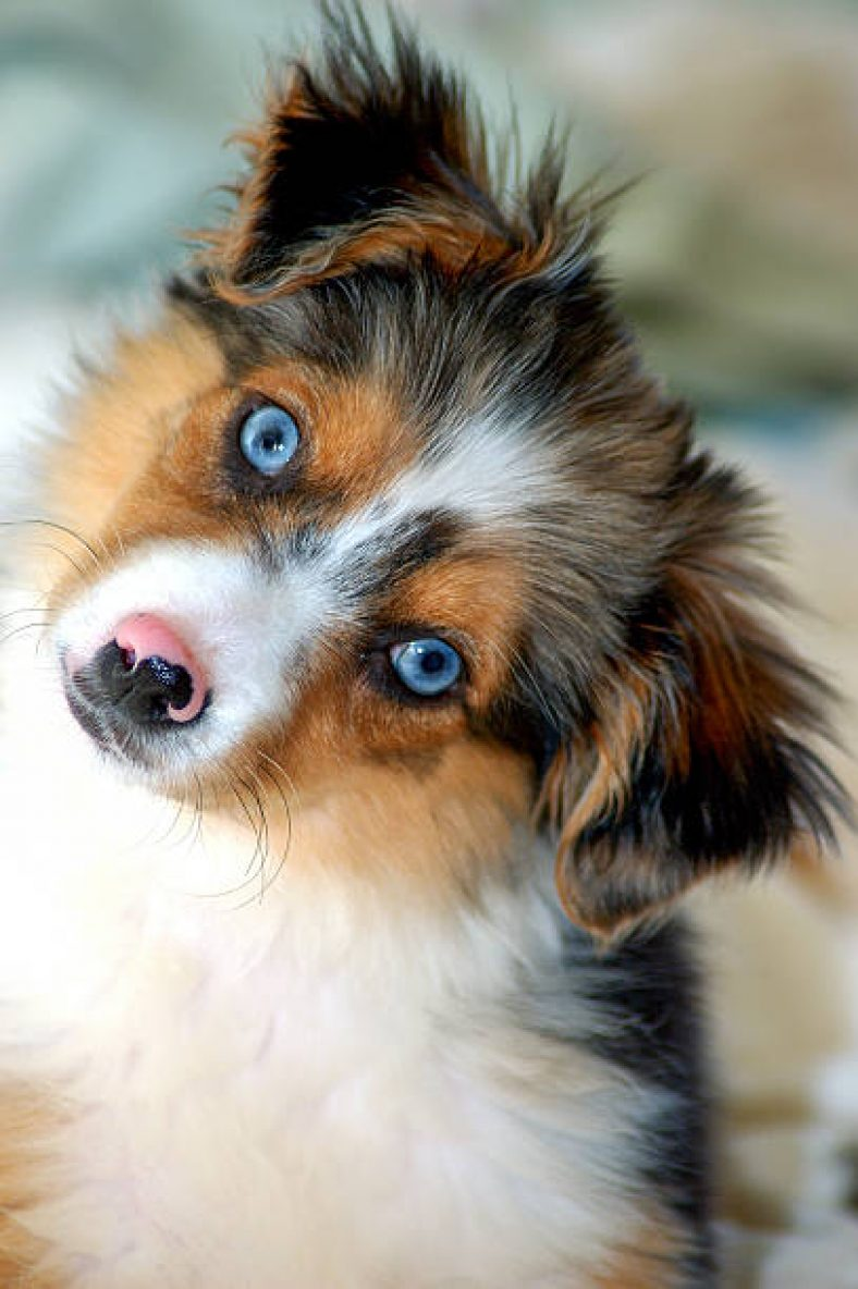 Large Of Blue Eyed Dogs