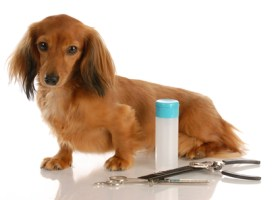 dog grooming - miniature long haired dachshund sitting beside grooming supplies