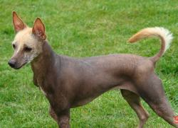 Charmful Mexican Mexican Hairless Dog Breed Mexican Hairless Puppies Puppy Dog Gallery Ancient Mexican Dog Breeds Mexican Dog Breeds Xoloitzcuintli