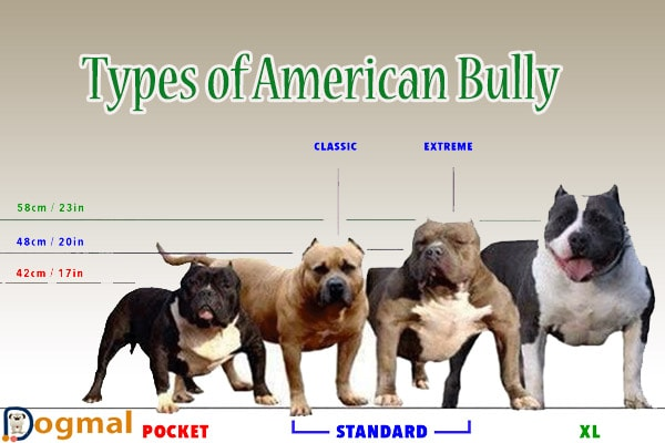 American bully dog - characteristic, appearance and picture