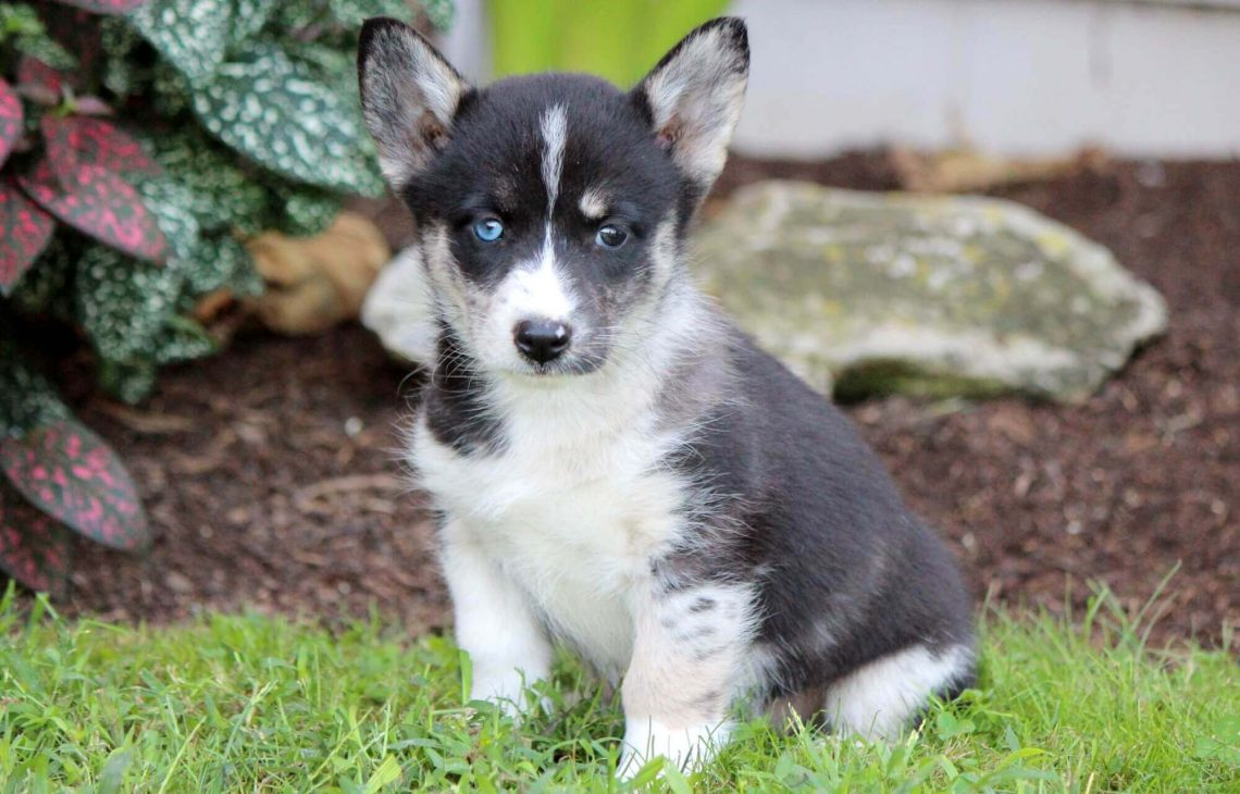 Cute Husky Wallpaper Corgi Husky Mix Information Characteristics And Pictures