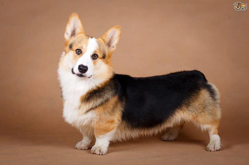 Large Of Corgi Pomeranian Mix