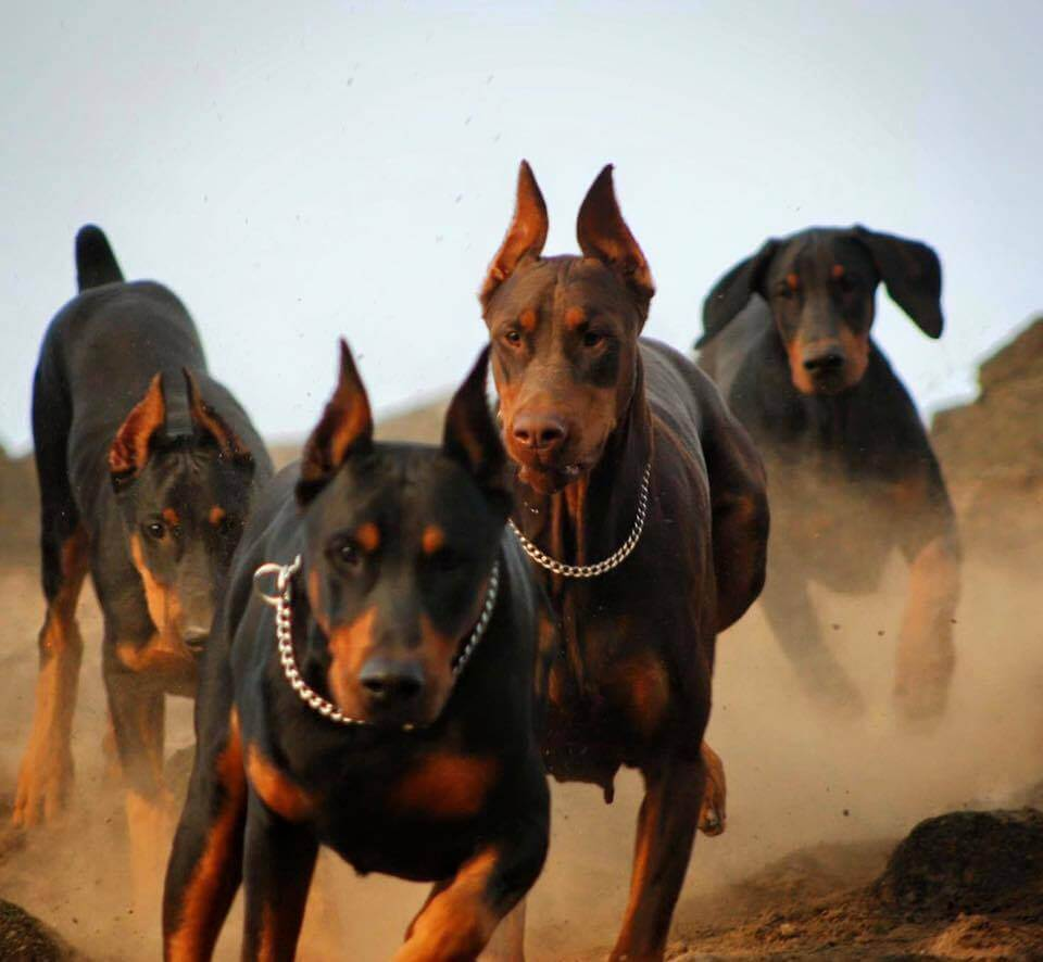 Cute Dog Pictures For Wallpaper Doberman Pinscher Personality Temperament And Pictures