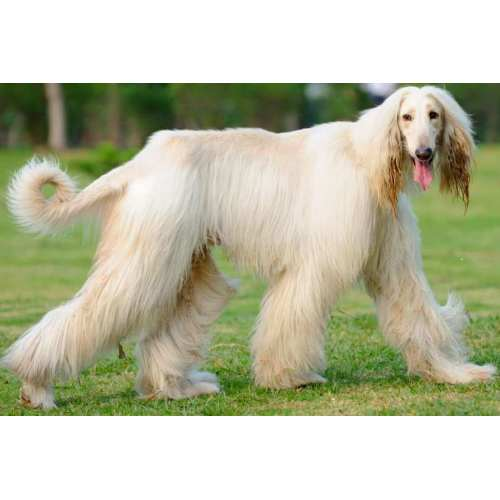 Medium Crop Of Long Hair Dog