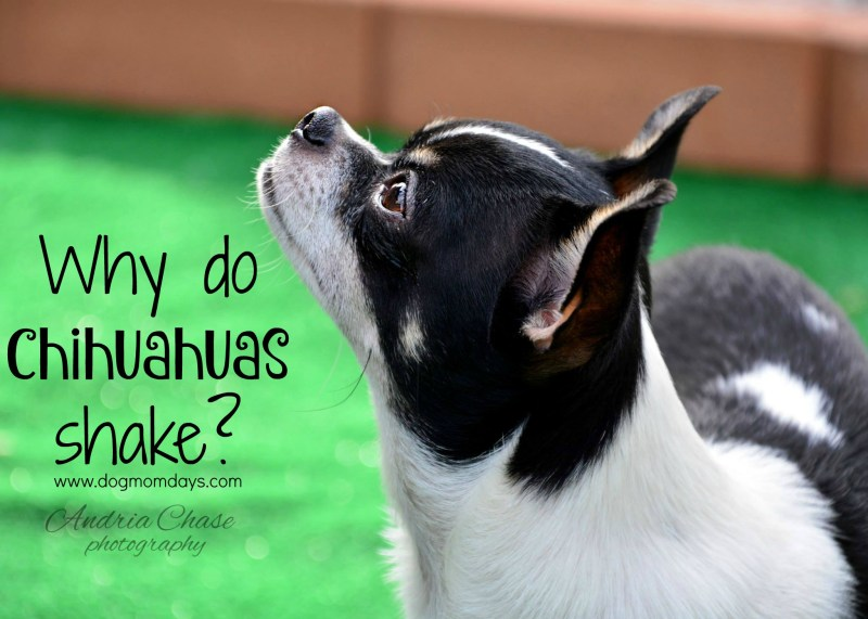 Large Of Why Do Chihuahuas Shake