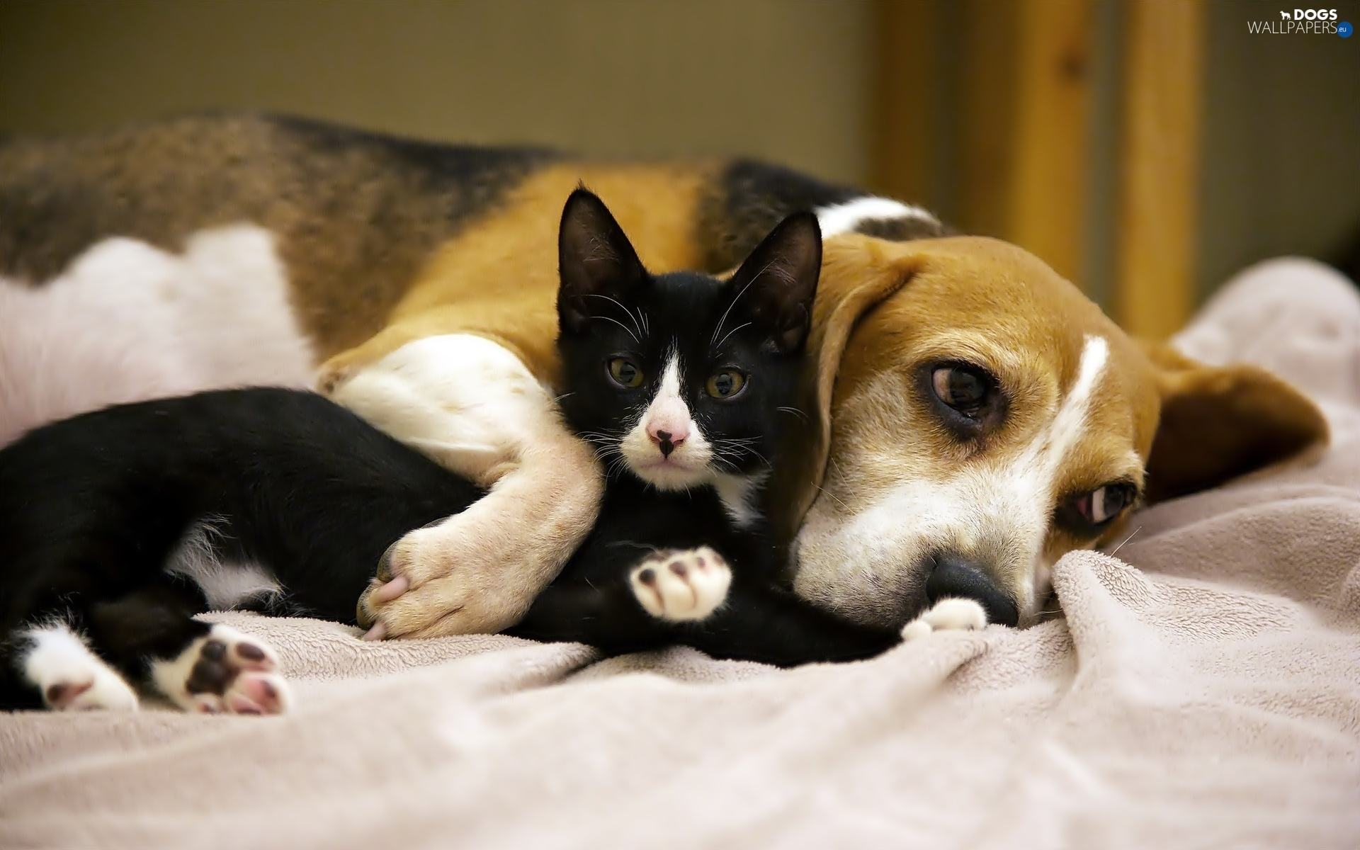 Small Cute Puppy Wallpapers Friends Dog Black Beagle Kitten Dogs Wallpapers