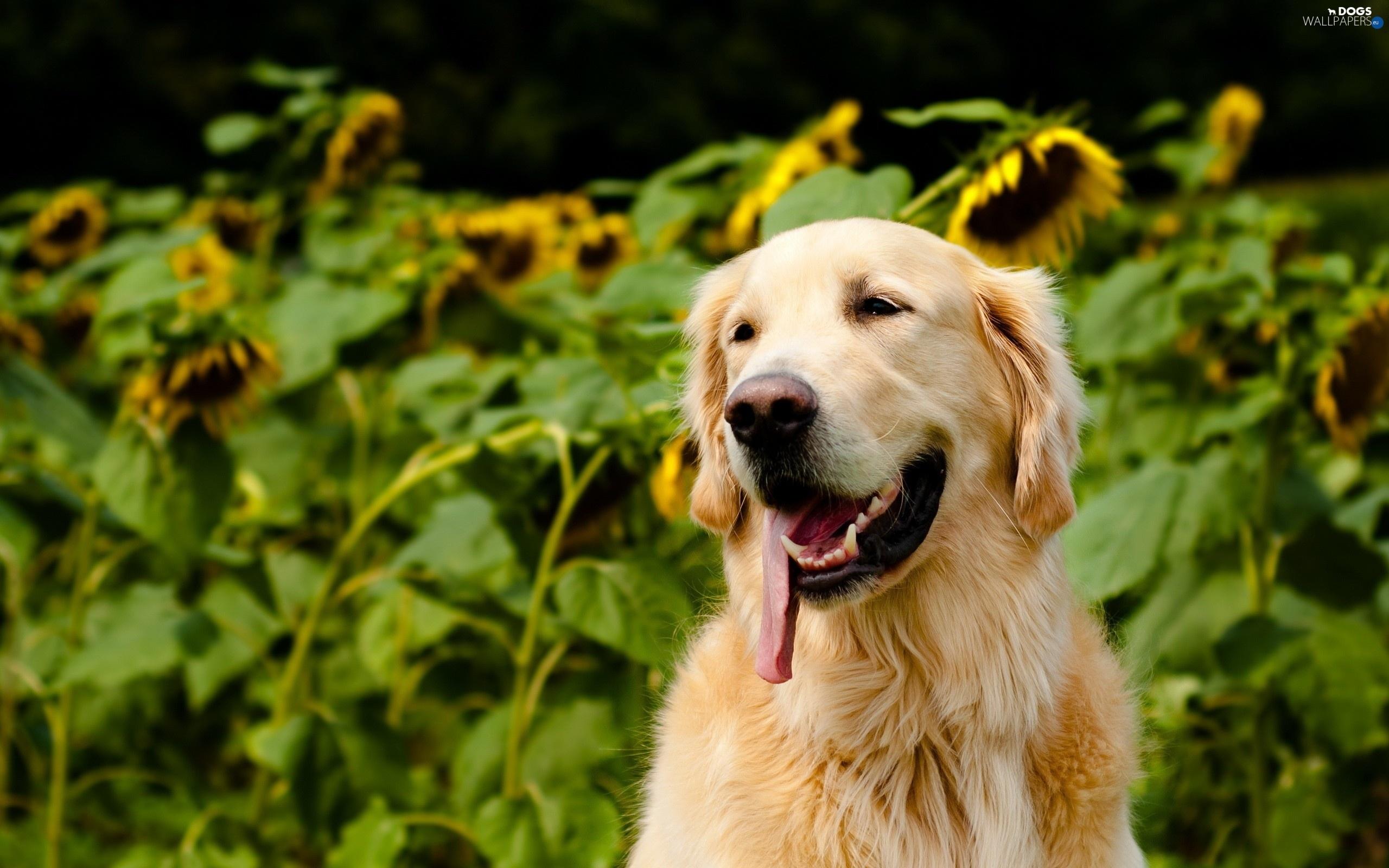 Windows 8 1 Wallpaper Hd Free Download Tongue Nice Sunflowers Golden Retriever Dogs