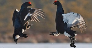 Fighting Male Black Grouse