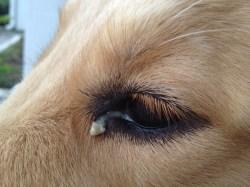 Small Of Dog Eye Boogers