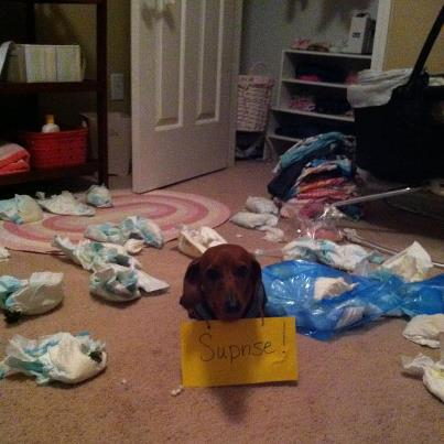 Scooter The Diaper Loving Doxie Is A Bad Boy