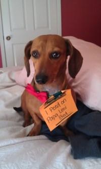 dog peed on my bed i peed on papa leo s bed