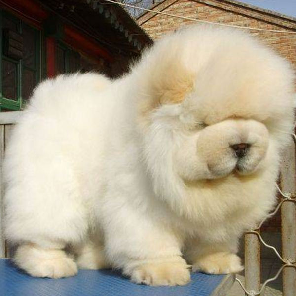 Black Aesthetic Wallpaper Fluffy Emergency Chow Chow Puppies Are On The Loose