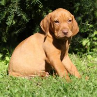 Vizsla Puppies Make Your Day Better in 10 Photos