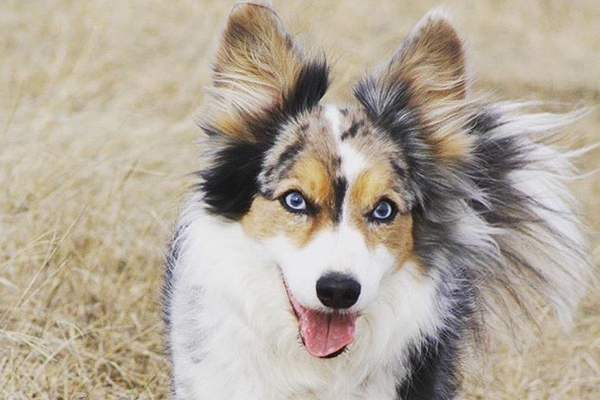 Dogs With Blue Eyes Meet These 6 Dog Breeds