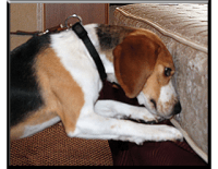 Scent Detection Dogs and Bed Bug Detection Dogs