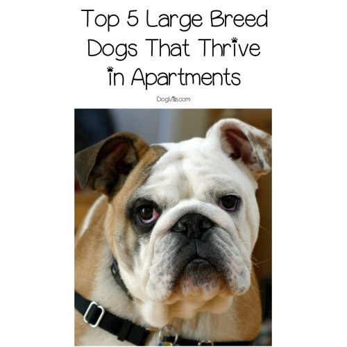 Medium Crop Of Best Dog Breeds For Apartments