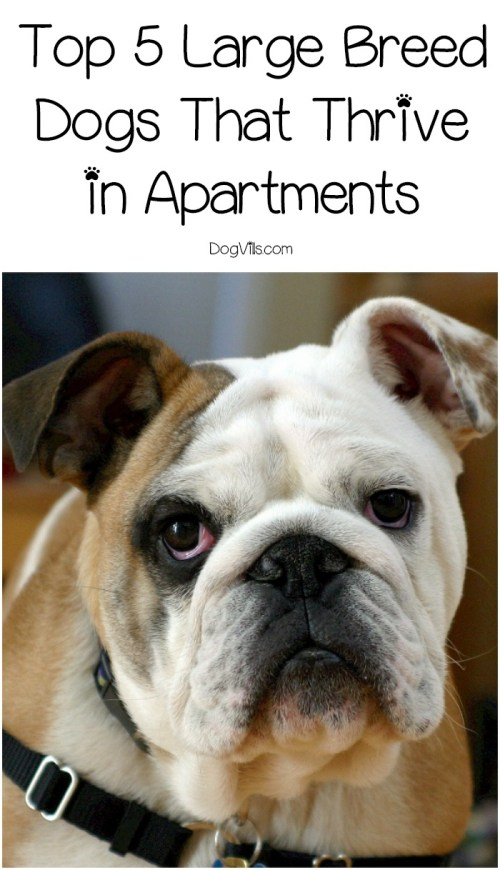 Medium Of Best Dog Breeds For Apartments
