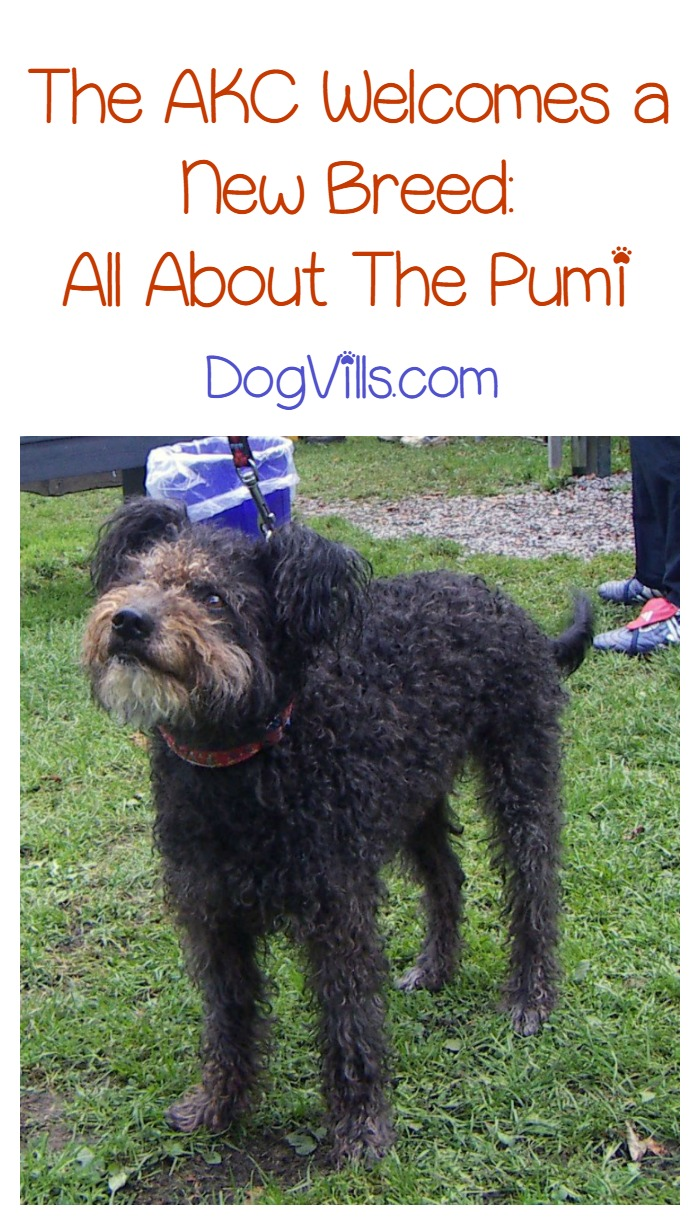 Arresting India New Dog Breeds 2018 Meet American Kennel Newest Dog Pumi Introducing Newest Recognized Dog Breed New Dog Breeds bark post New Dog Breeds