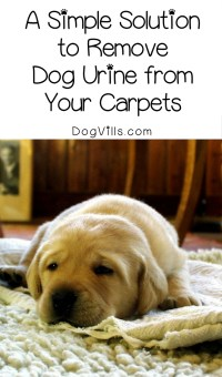 4 Foolproof Steps to Get Rid of Dog Urine Smell in Carpets ...