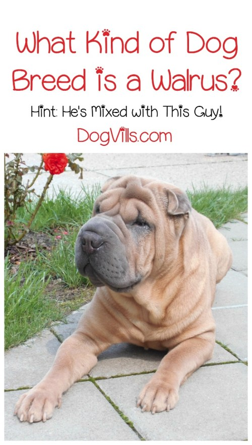 Medium Of Miniature Shar Pei