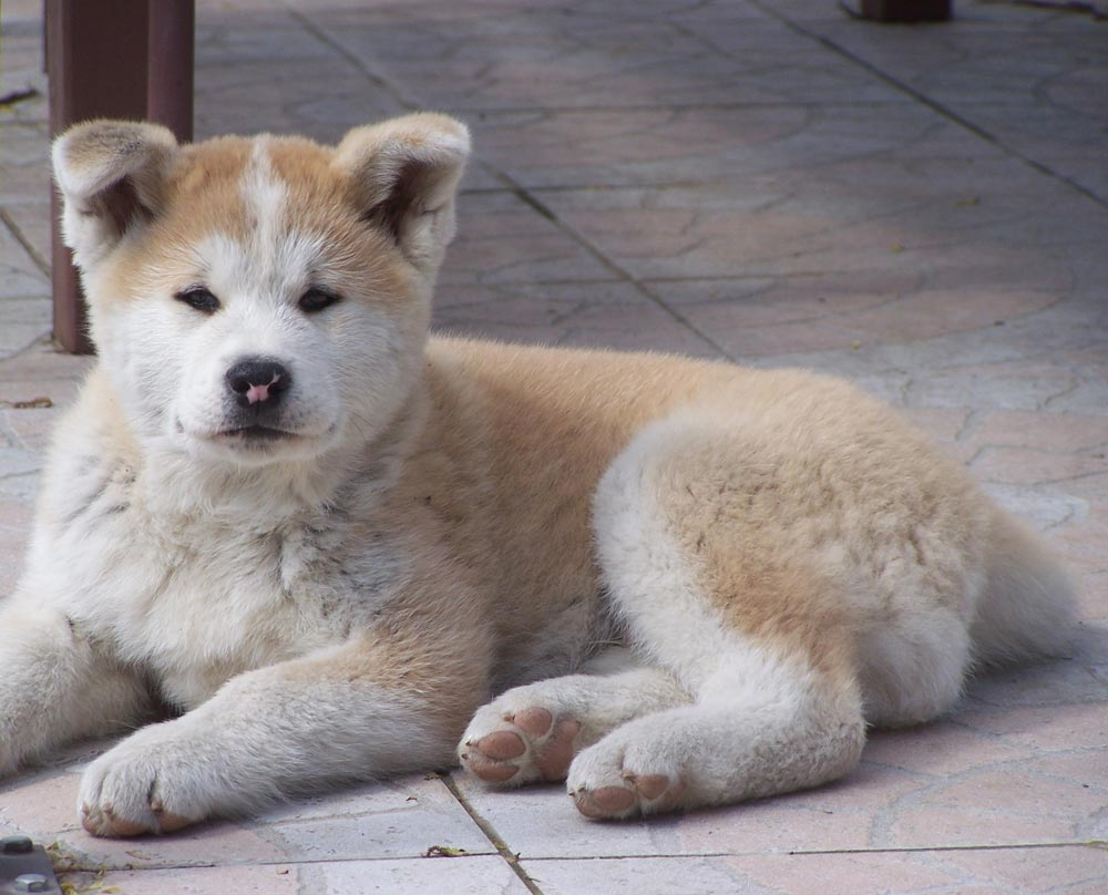 Shiba Inu Cute Desktop Wallpaper Akita Inu Puppy On The Floor Photo And Wallpaper