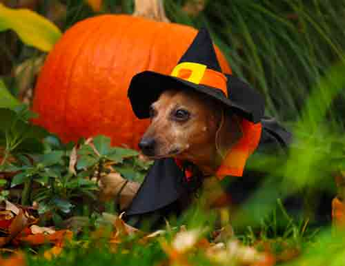Fall Wallpaper Dog Weenie Dachshund Witch Photo And Wallpaper Beautiful Dachshund