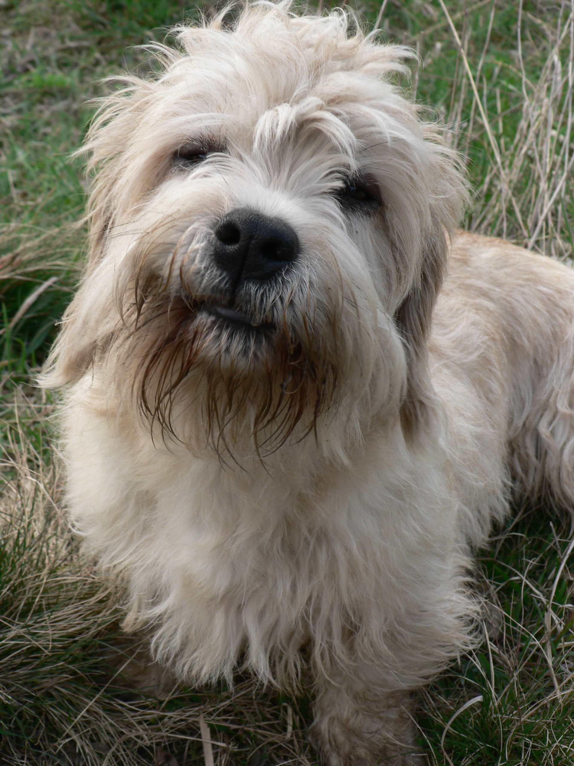 Cute Face Wallpaper Desktop Dandie Dinmont Terrier Face Photo And Wallpaper Beautiful