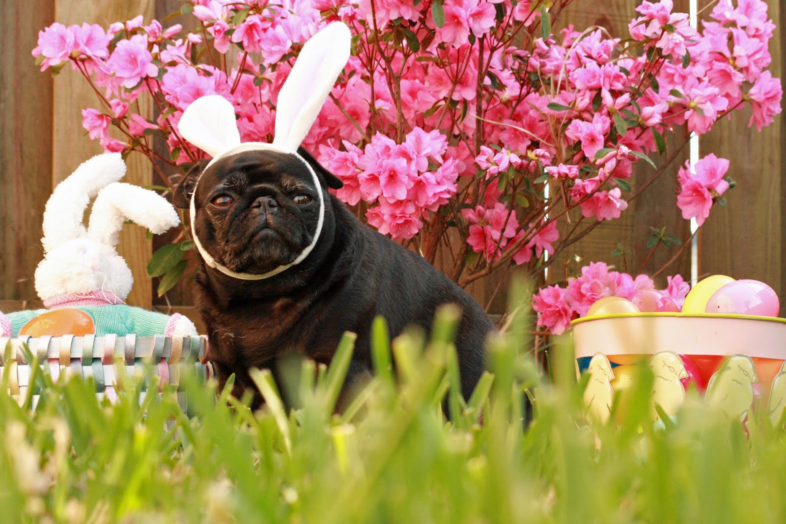 Cute Pug Puppies Wallpapers Easter Pug In The Grass Photo And Wallpaper Beautiful