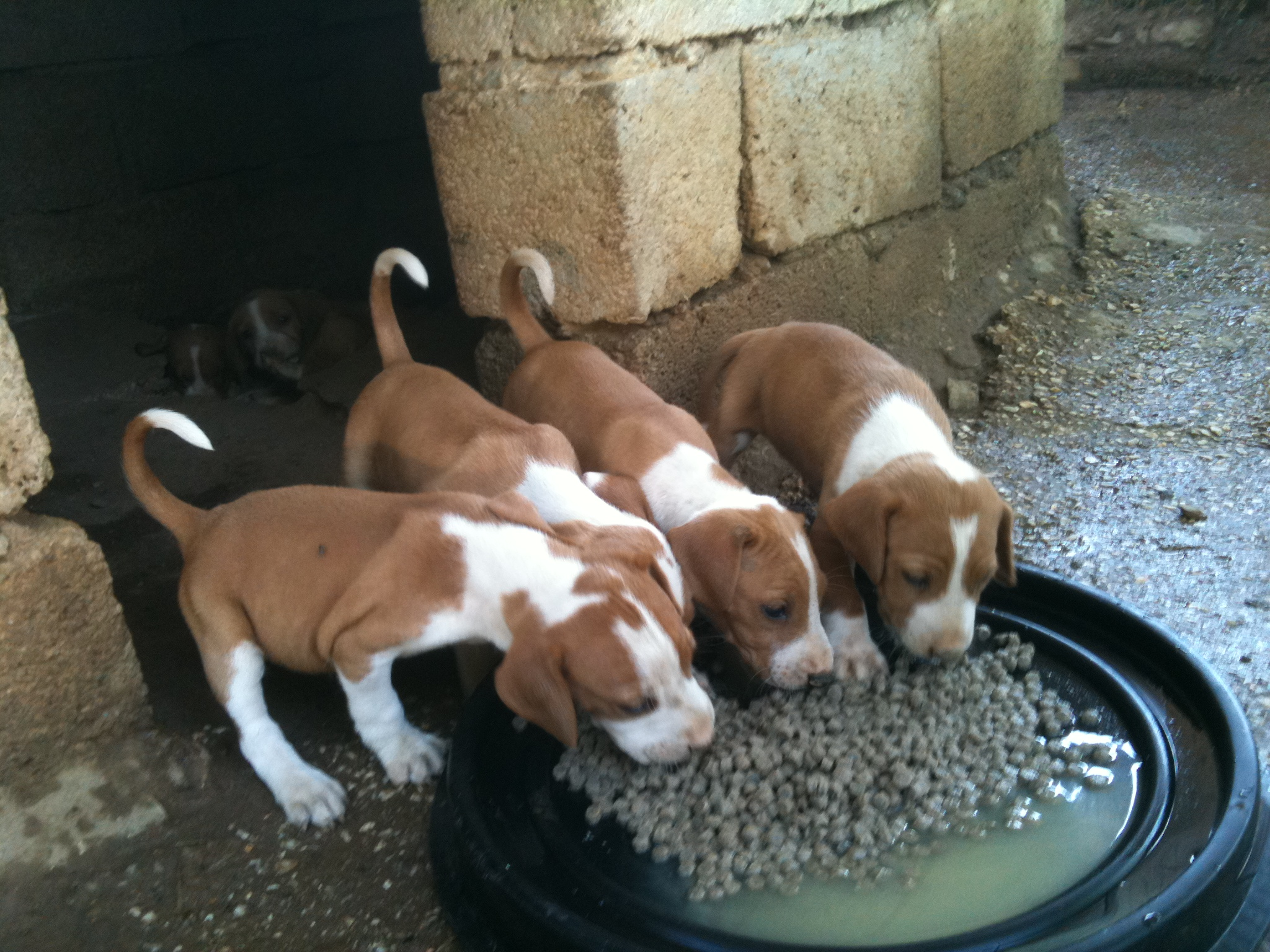 Cute Duck Wallpapers Eating Posavac Hound Puppies Photo And Wallpaper