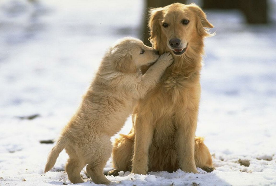 Cute Wallpapers Of Kittens And Puppies Golden Retriever With Puppy Photo And Wallpaper Beautiful