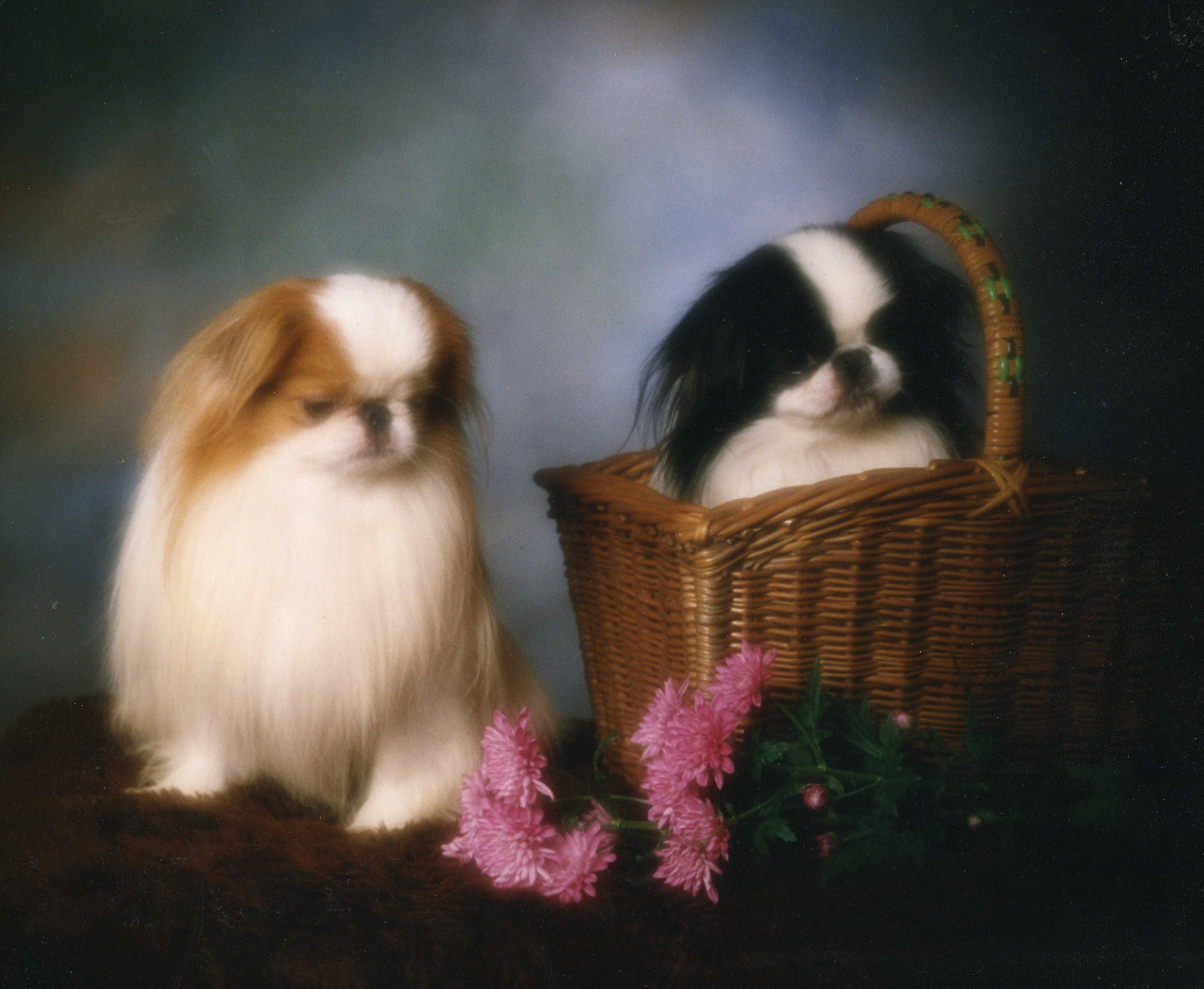 Cute Japanese Cat Wallpaper Japanese Chin Dogs Photo And Wallpaper Beautiful Japanese
