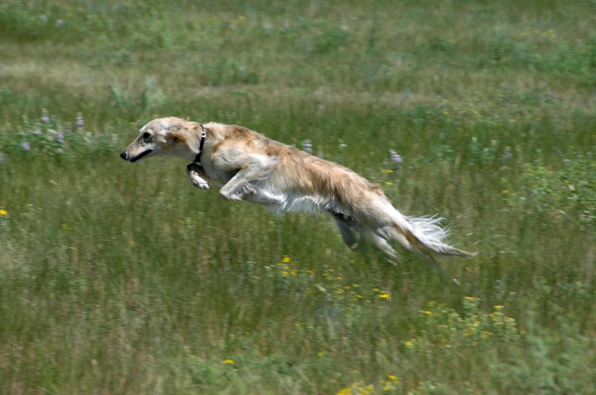 Cute Dachshund Wallpaper Jumping Silken Windhound Photo And Wallpaper Beautiful