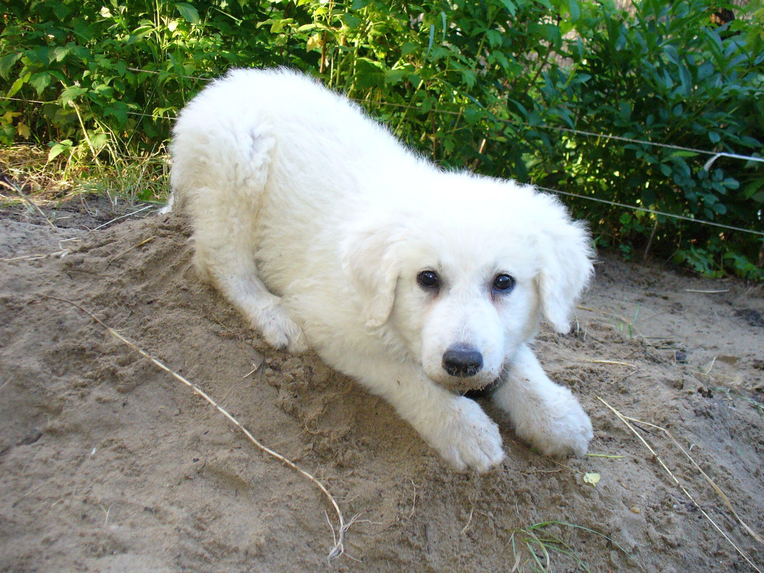 Cute Labrador Puppy Wallpaper Lovely Kuvasz Dog Photo And Wallpaper Beautiful Lovely