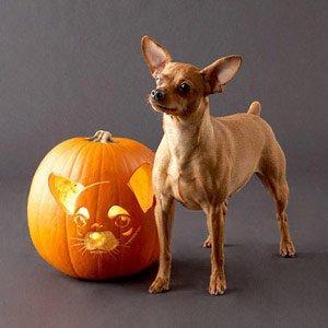 Cute Yorkie Wallpaper Pumpkin Chihuahua Dog Photo And Wallpaper Beautiful