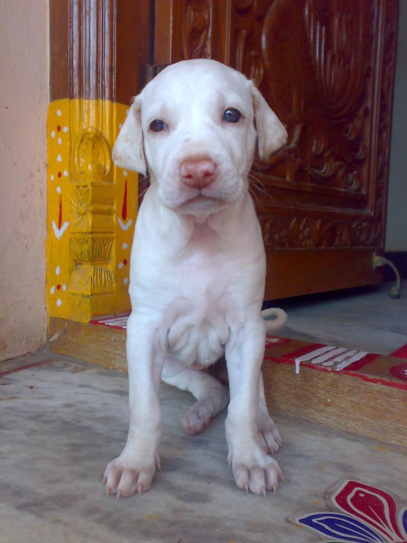 Cute Rottweiler Puppy Wallpaper Rajapalayam Puppy Photo And Wallpaper Beautiful