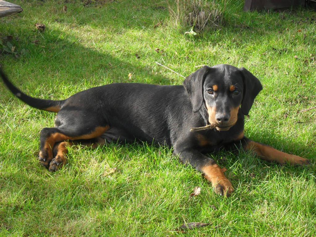 Cute Rottweiler Puppy Wallpaper Resting Slovensky Kopov Dog Photo And Wallpaper Beautiful
