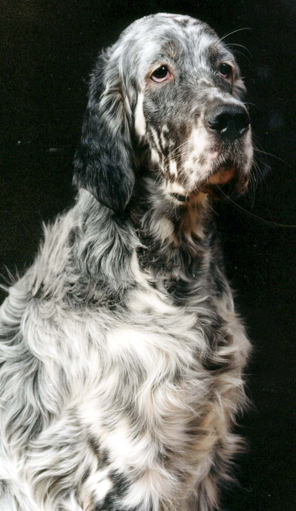 Www Cute Puppies Wallpaper Com Sad English Setter Dog Photo And Wallpaper Beautiful Sad