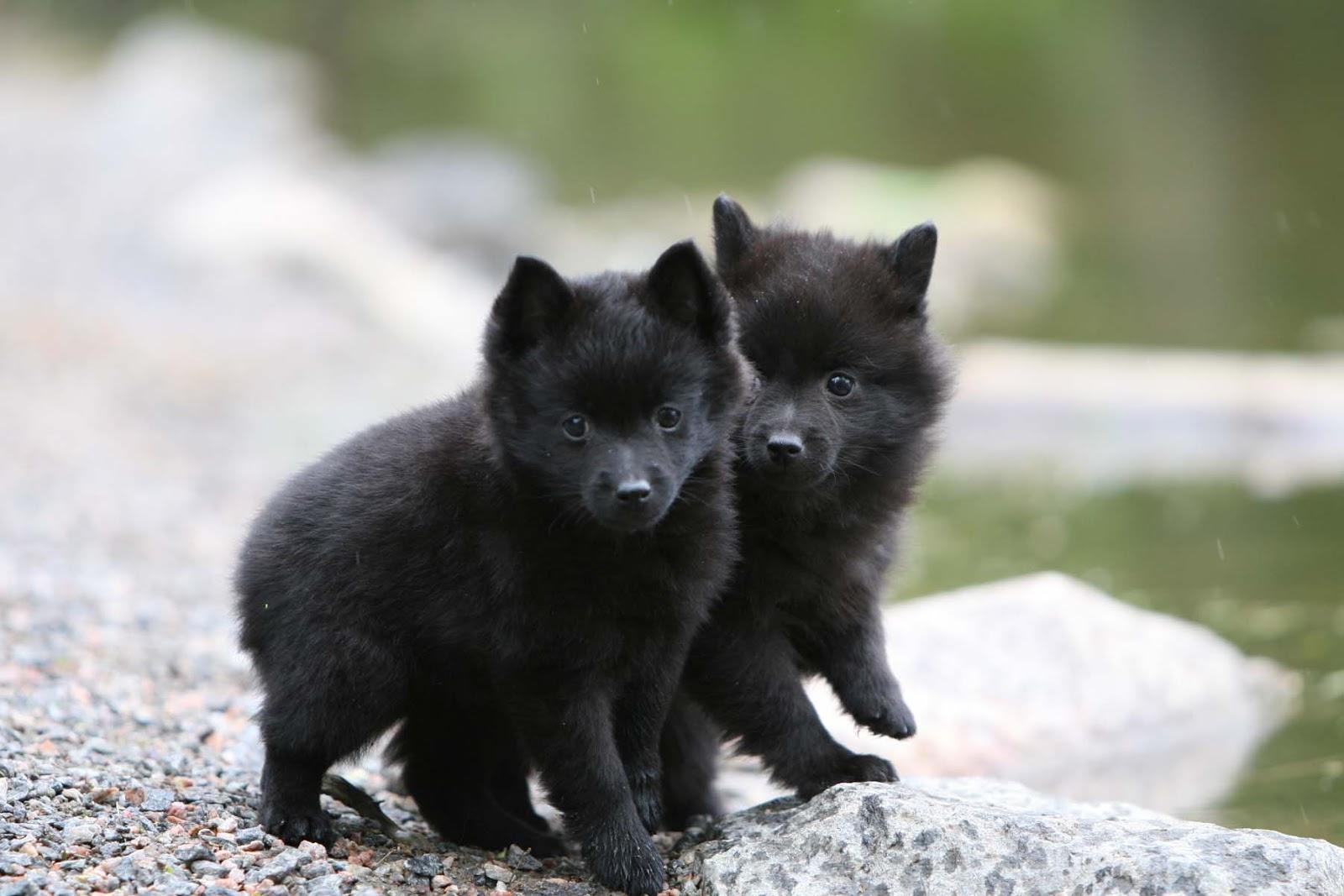 Cute Shih Tzu Puppies Wallpaper Schipperke Puppies Photo And Wallpaper Beautiful